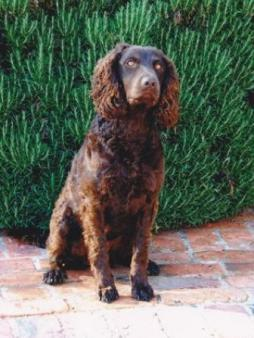 Murray River Curly Coated Retriever.jpg (11).jpg